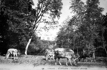 Vaches au pâturage