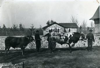 Éleveurs et leurs taureaux